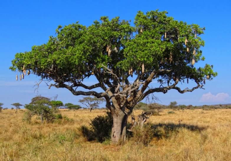 Кегелия в Африке