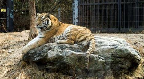 тигр в корее