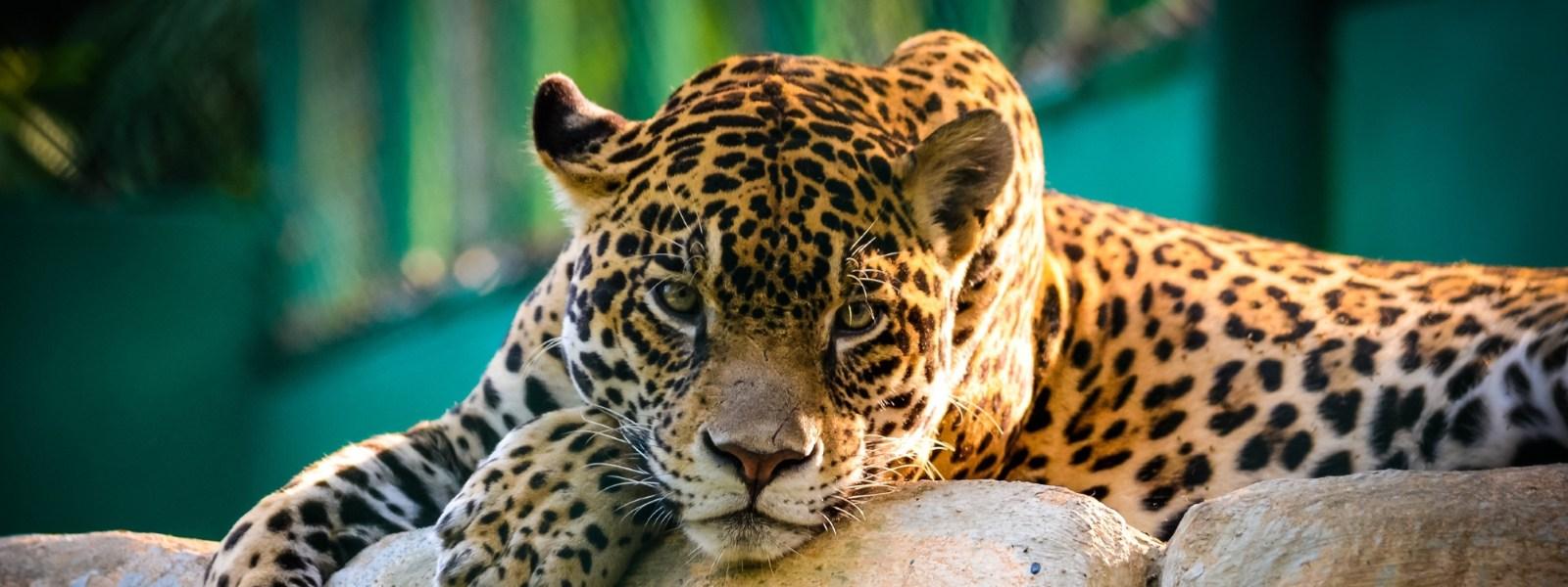 пейзаж 4 гепард на отдыхе