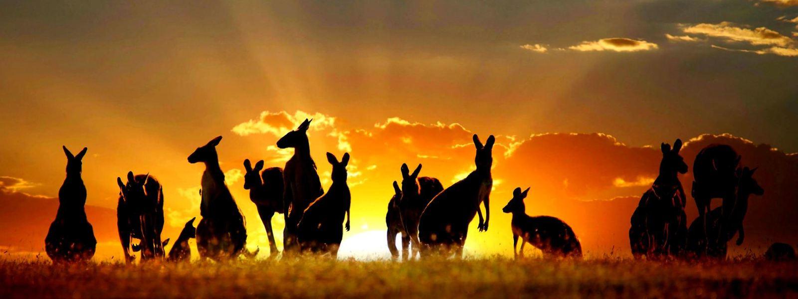 кенгуру на выпасе