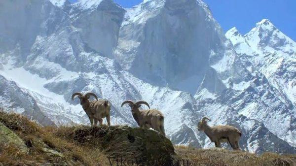 Дикие животные в горах