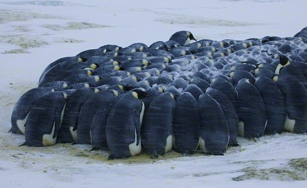 Imperial penguin group