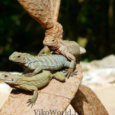 Доминиканские ящерицы