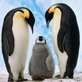 penguin Imperial с птенцом